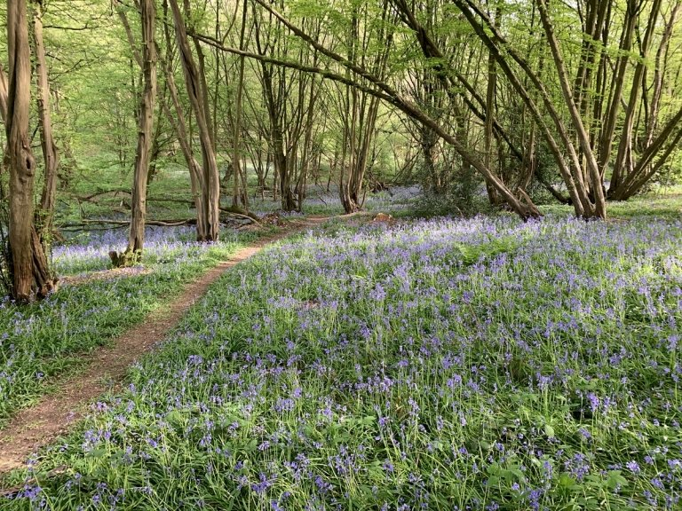 Bluebells in Thrift Wood looking east.  Tithe Ref: Thrift Wood (287).